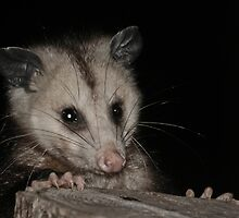 Young Opposum by Karen Kaleta