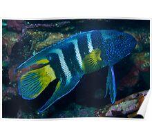 Eastern Blue Devilfish Poster