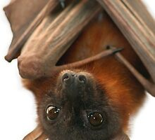 Little Red Flying Fox by SerenaB