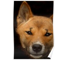 New Guinea Singing Dog Poster