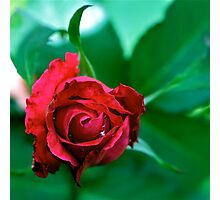 Rich Red Rose Photographic Print