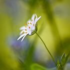 Dreamy stitchwort by Mandy Disher