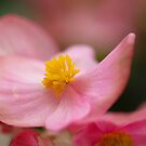 Impatiens Walleriana - Busy Lizzy by vbk70