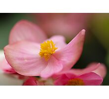 Impatiens Walleriana - Busy Lizzy Photographic Print