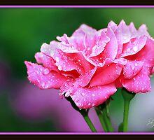 Rain Kissed Rose by Gail Jones