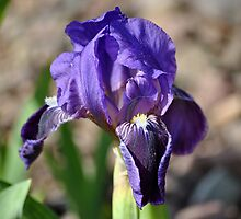 Iris Bloom by Dorothy Thomson