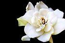 My April Gardenia by AuntDot