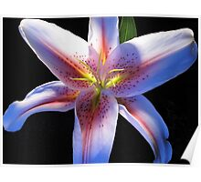 Asiatic Lily?? Poster