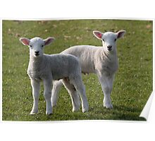Pair of lambs Poster