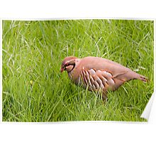 Red Legged Partridge Poster