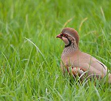 Red Legged Partridge by David-J