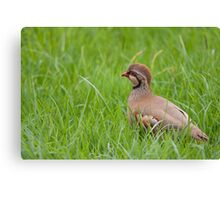 Red Legged Partridge Canvas Print