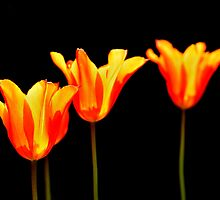 orange tulips on black by Steve