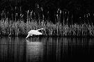 Swan Landing by Matt Sillence