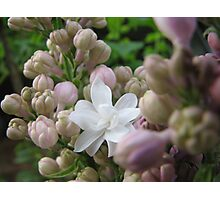 double white lilac Photographic Print