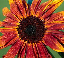 Sunflower by StefanFierros