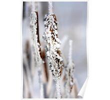 Hoar frost on a bullrush Poster
