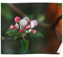 Apple ball blossoms Poster