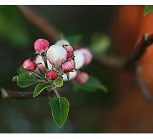 Apple ball blossoms Photographic Print