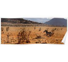 Wild galloping zebra Poster