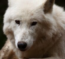 Arctic Wolf Portrait Sticker
