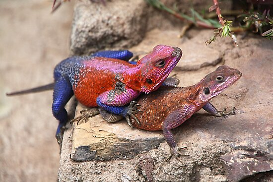 East African Rainbow Agama Lizard  by Carole-Anne