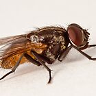 House Fly Macro by Zunazet