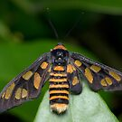 Wasp Moth - Eressa angustipenna by Andrew Trevor-Jones