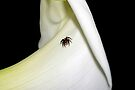 Tiny jumping spider by Kerry  Hill