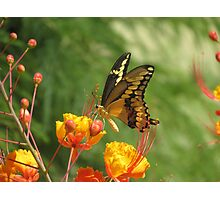 Giant Swallowtail Butterfly on Red Bird of Paradise Bloom Photographic Print