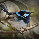 Superb Fairy Wren Laratinga Wetlands by Barb Leopold