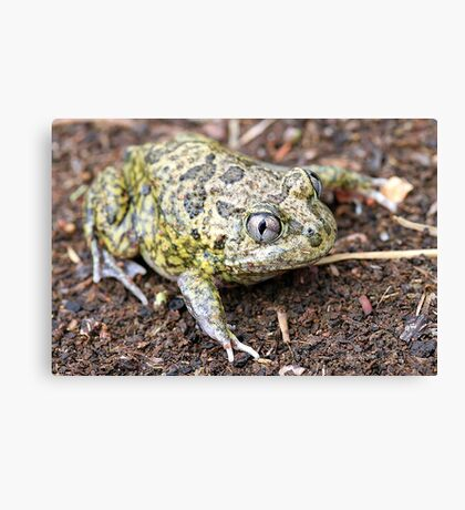 Common Spadefoot Canvas Print