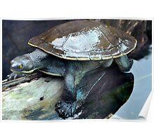Sun Baking Turtle Poster