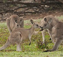 Kangaroos in Grampians National Park - Victoria, Australia by David Maslin