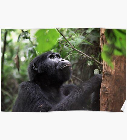 Gorilla in Bwindi, Uganda Poster