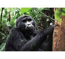 Gorilla in Bwindi, Uganda Photographic Print