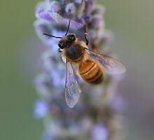 bee on lavender  by bella36