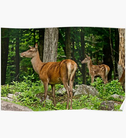Red Deer Doe And Fawn Poster