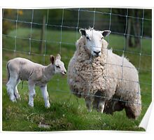 Separation - ewe and lamb Poster