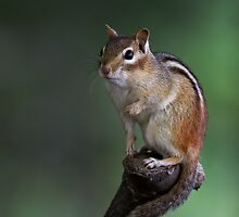 Poser - Chipmunk by Jim Cumming