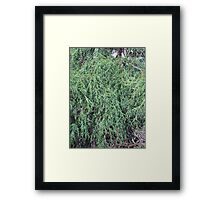 Weeping Evergreen Framed Print