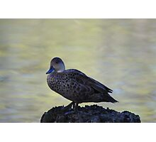Cute little duck perched on a log Photographic Print