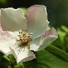 Quince Blossom by marens