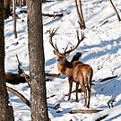 Red Deer in Forest by Michael Cummings