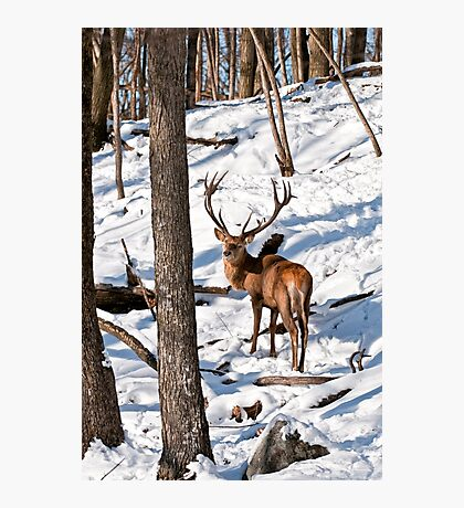Red Deer in Forest Photographic Print