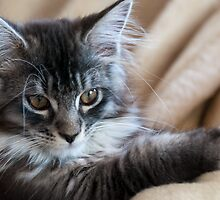 Confidence - Maine Coon kitten by elainejhillson