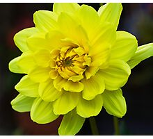 Yellow Dahlia Photographic Print