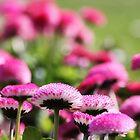 pink blossoms by xxnatbxx