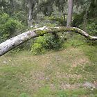 Bent Tree Over The Grass by shutterbug1170