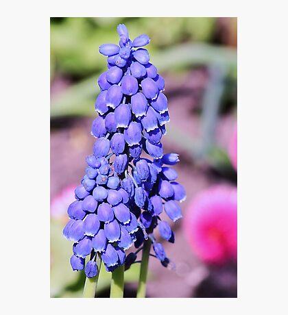 little blue bells Photographic Print